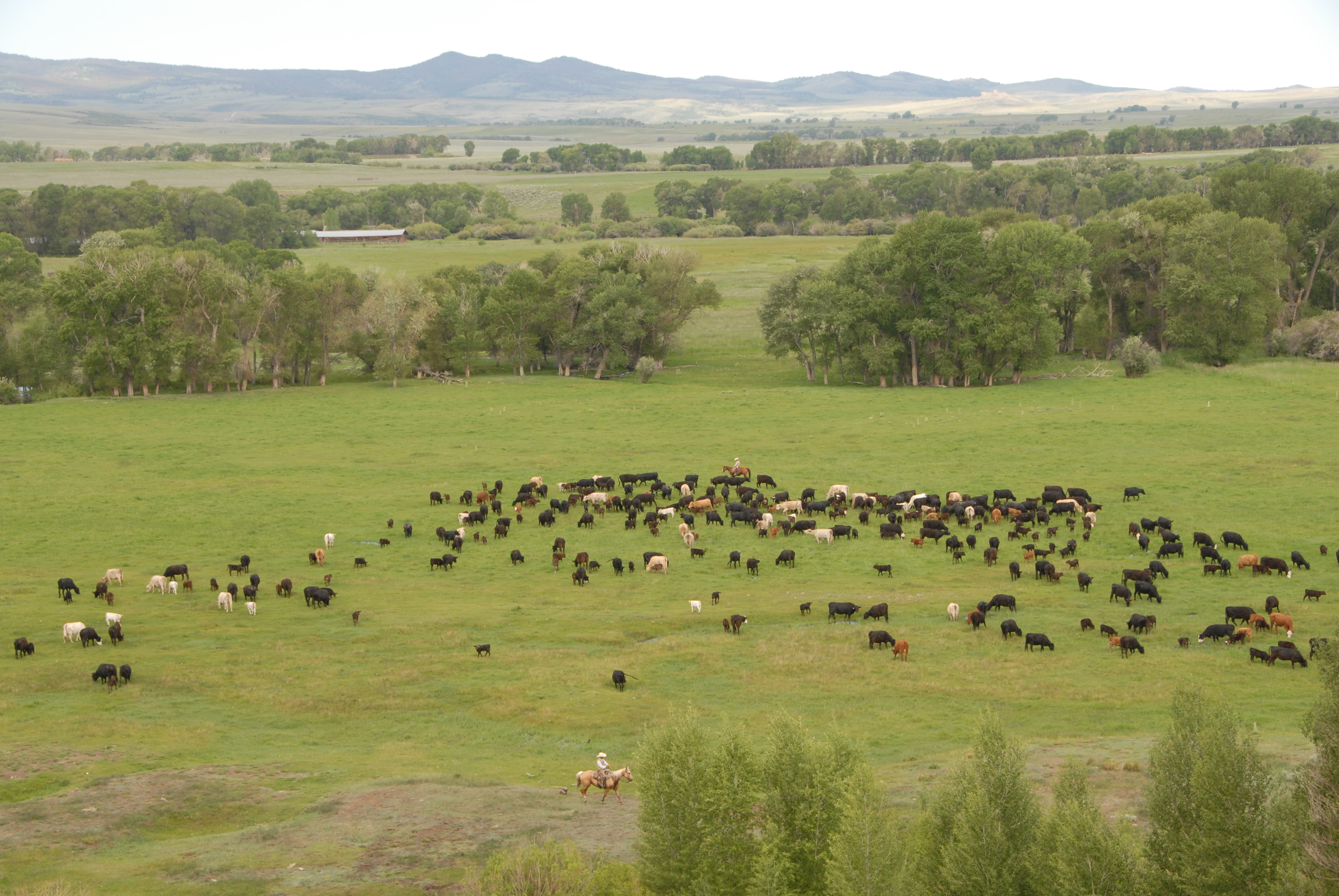 cattle ranches The matador cattle company operates three ranches with more than 460000  acres and 12000 cattle, raising the standards for beef quality assurance.